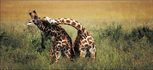 Giraffes_African_Friends_1MD